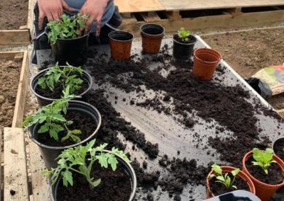 Potting on the Tomatoes